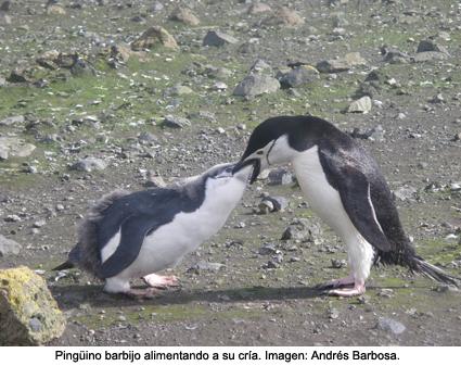Antártida: La capacidad olfativa del pingüino barbijo