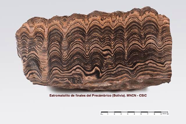 Estromatolito precámbrico de Bolivia