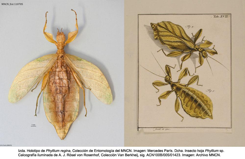 holotipo y lamina insecto hoja