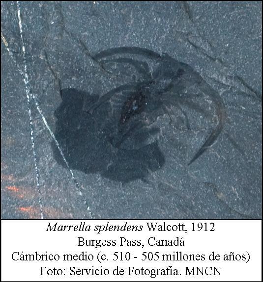 Trilobitomorfo del Cambrico medio de Canadá