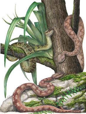 'Especies del género Ophryacus' - Lilian Tendilla