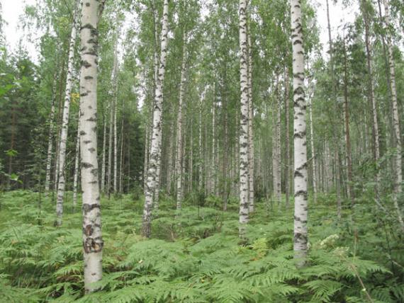 Una de las parcelas de bosque muestreadas, en la imagen varios abedules, Betula pendula, de un bosque boreal europeo, en Finlandia. / Raquel Benavides