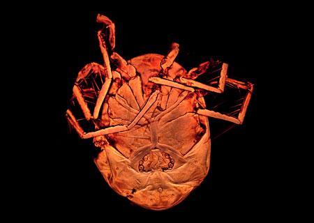 Vista ventral del ácaro descrito, Piona Alpedretinea. Alrededor de la zona genital pueden apreciarse las acetábulas que caracterizan a la especie. / Antonio G. Valdecasas